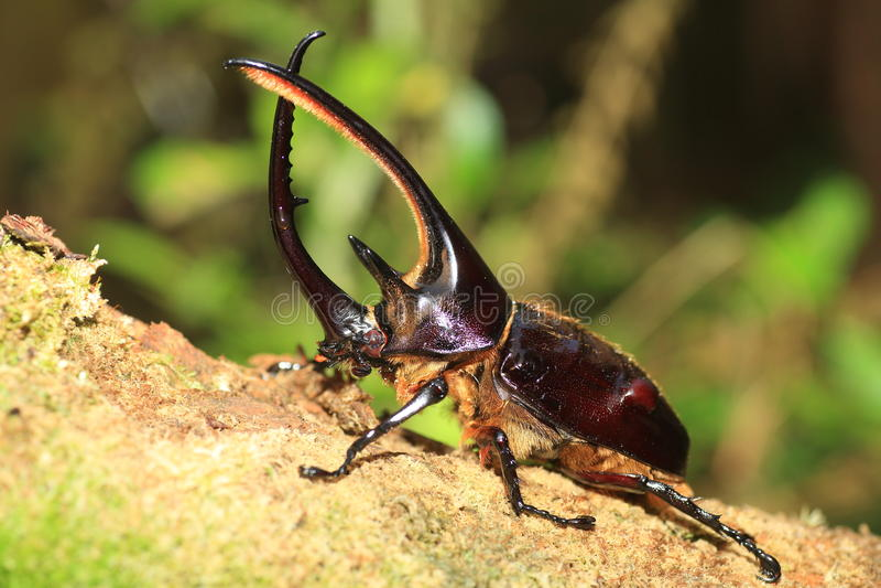 Download Neptunus beetle stock image. Image of jungle, animal - 76693633