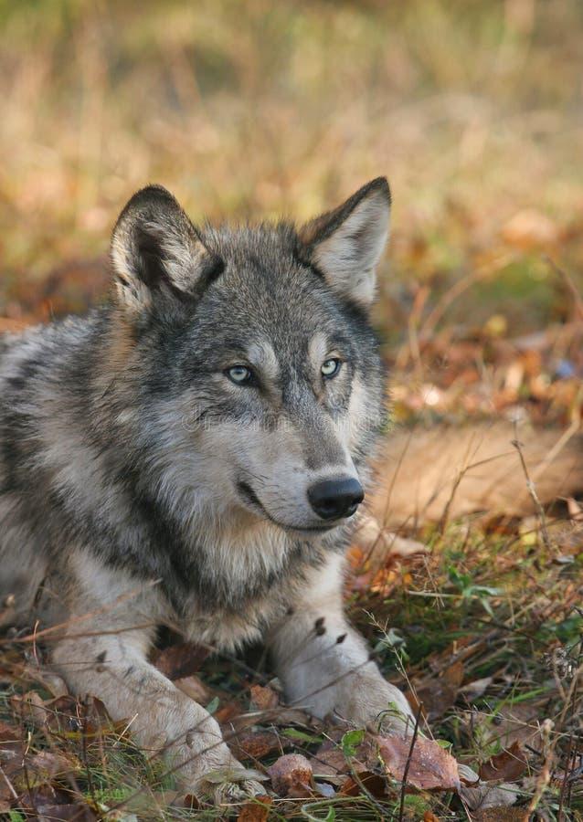 ner liggande timmerwolf royaltyfria foton