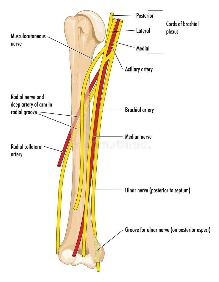 Nerfs et artères du bras illustration de vecteur. Illustration du ...