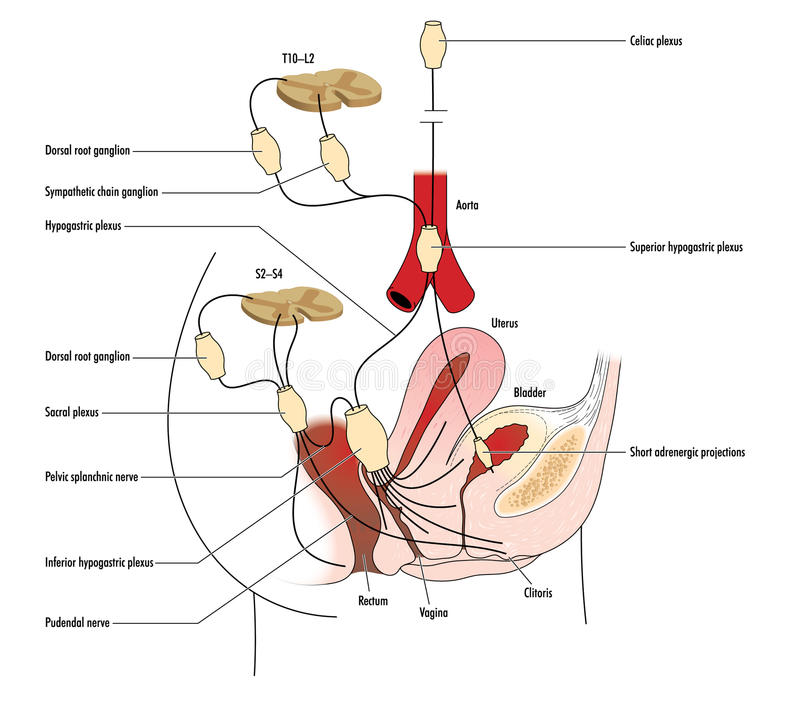 Nerfs pelviens illustration de vecteur. Illustration du anatomie ...