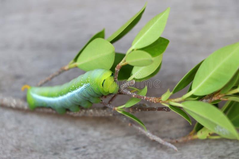 Nerii de Daphnis da lagarta do hawkmoth do oleandro, Sphingidae no ramo da árvore fotos de stock