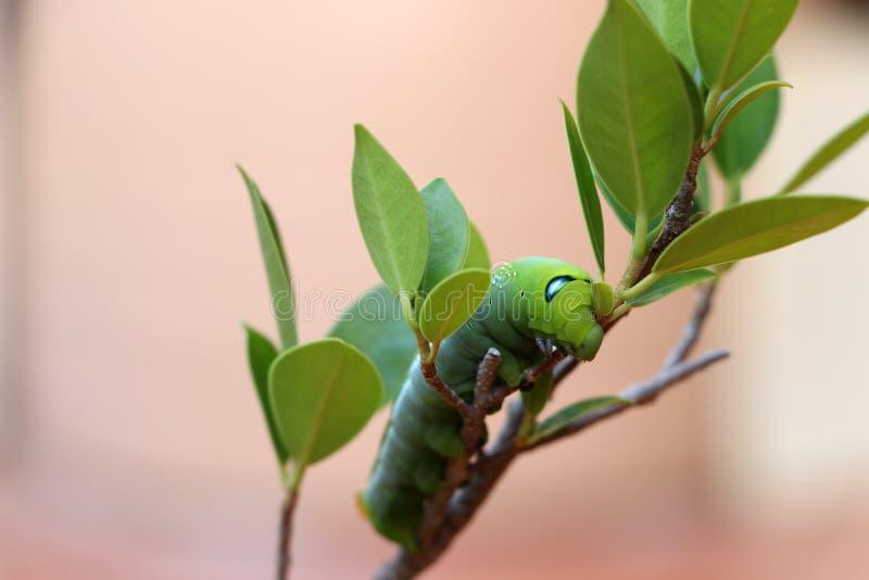 Nerii de Daphnis da lagarta do hawkmoth do oleandro, Sphingidae no ramo da árvore imagem de stock royalty free