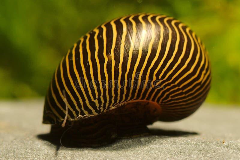 Neritina turrita della lumaca della zebra di Turrita della lumaca del mangiatore delle alghe dell'acquario fotografia stock libera da diritti