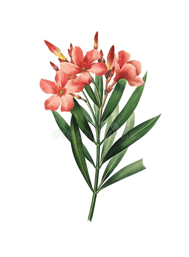 Nerium oleander   Παλαιές απεικονίσεις λουλουδιών απεικόνιση αποθεμάτων