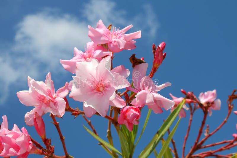 Nerium oleander στοκ φωτογραφίες με δικαίωμα ελεύθερης χρήσης