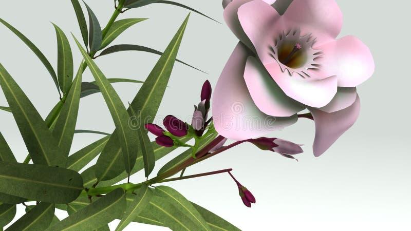 Nerium oleander illustrazione di stock