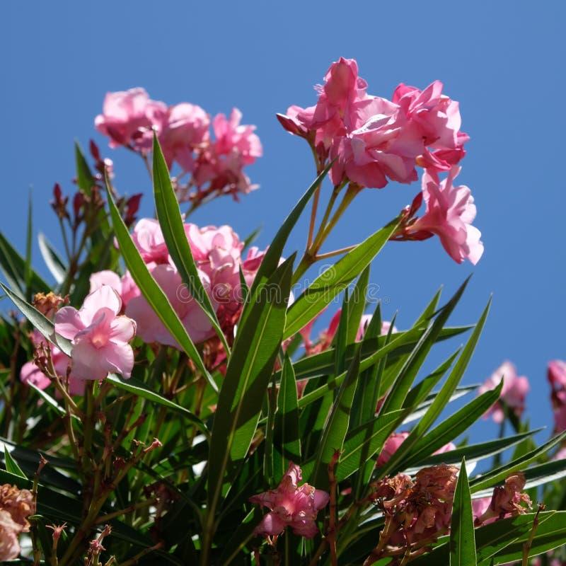 Nerium oleander immagini stock