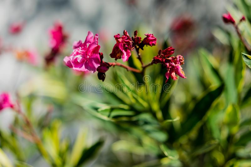 Nerium oleander apocynaceae pink flower plant close up leaf bot. Dogbane family stock photo