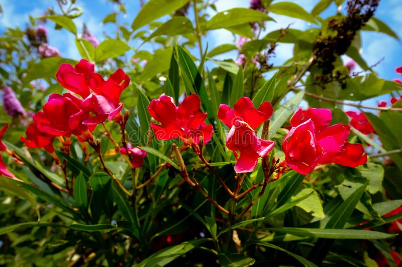 Nerium oleander blooming in red. The oleander Nerium oleander, also called rose lorbeer, is the only species of plant genus Nerium within the family of dog royalty free stock photo