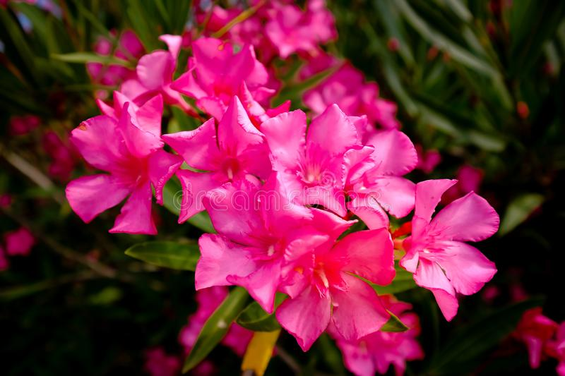 Nerium oleander blooming in red. The oleander Nerium oleander, also called rose lorbeer, is the only species of plant genus Nerium within the family of dog royalty free stock photography