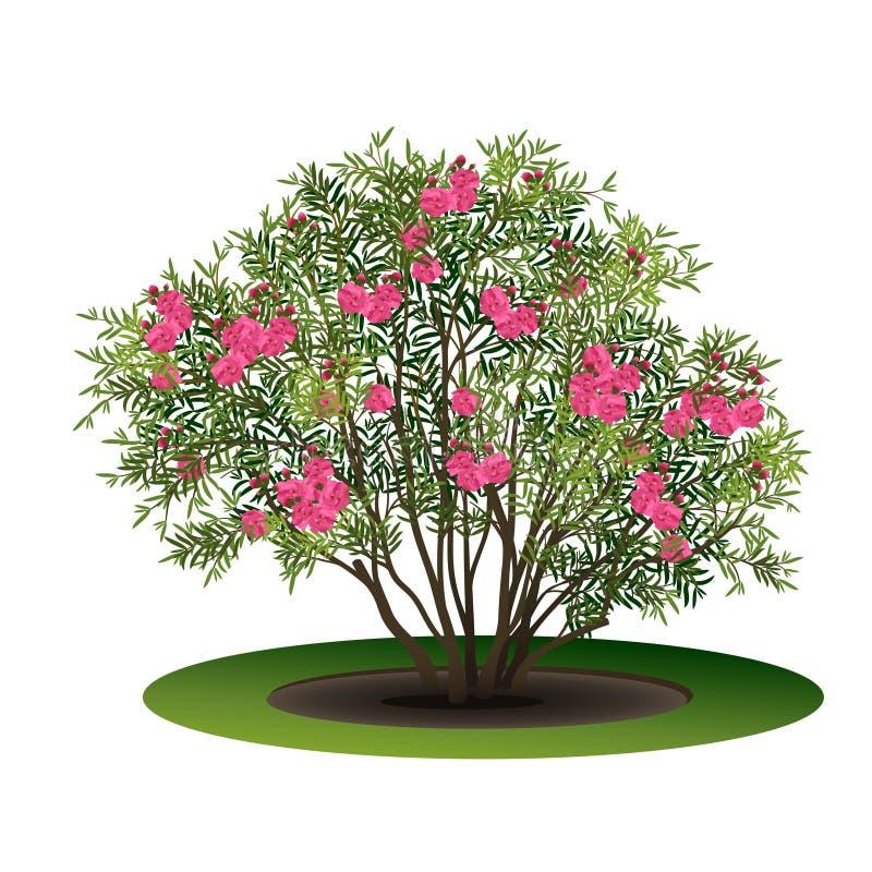 Nerium oleander di Bush con i fiori rosa royalty illustrazione gratis
