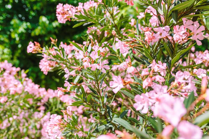 Nerium oleander is an evergreen woody plant in city park. The Nerium oleander is an evergreen woody plant in city park stock images