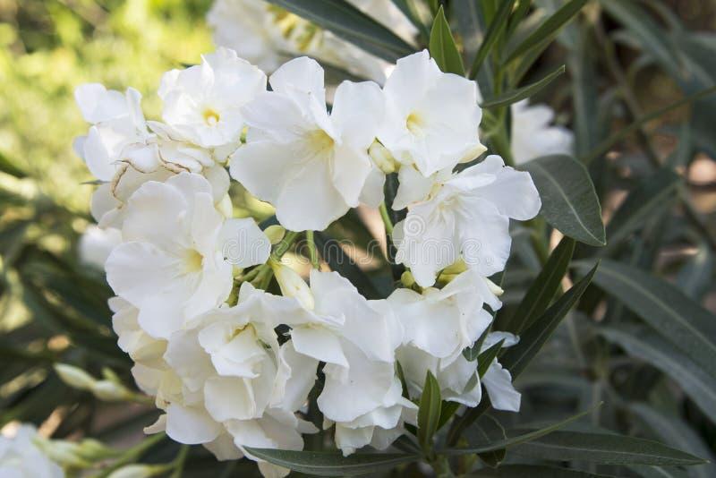 Download Nerium oleander stock photo. Image of macro, substance - 32490574