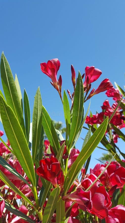 Nerium oleander jest krzakiem małym drzewem w dogbane rodziny Apocynaceae lub, substancja toksyczna w wszystkie swój częściach Ja obraz royalty free