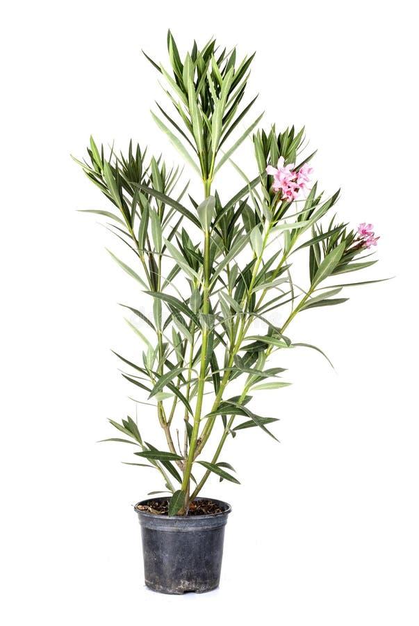 Nerium oleander in studio immagini stock