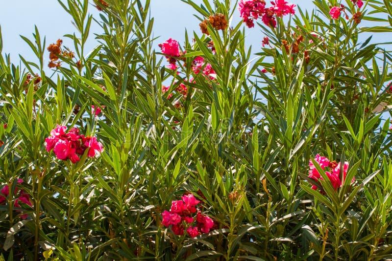 Neriumoleander, bloeiende struik van roze oleander stock afbeelding