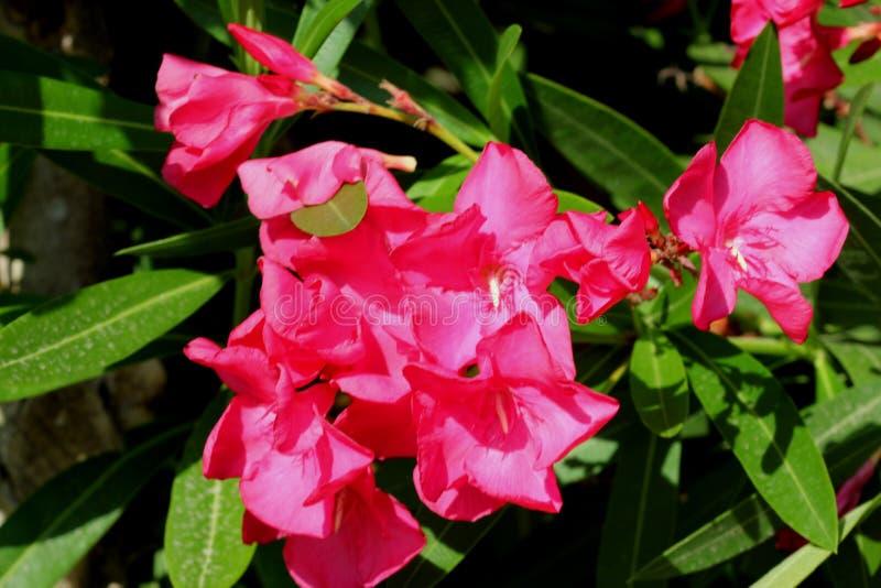 Neriumoleander, Oleander royalty-vrije stock foto
