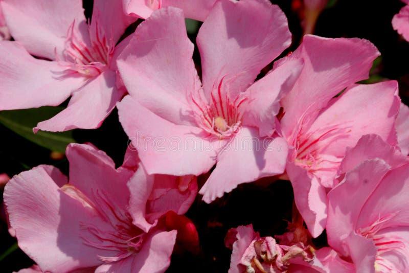 Neriumoleander, Oleander royalty-vrije stock foto's