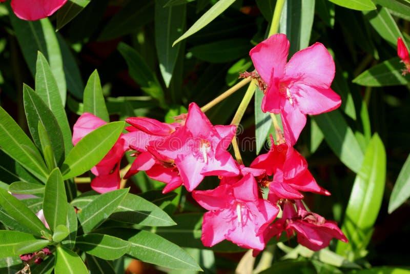 Neriumoleander, Oleander stock afbeelding