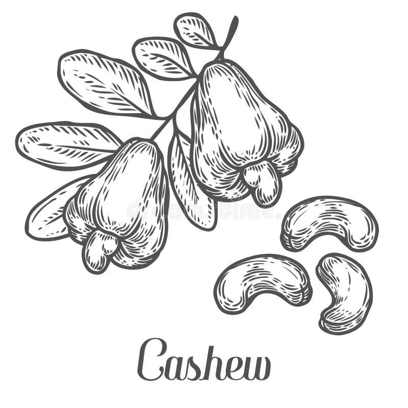 Nerkodrzew dokrętki nasieniodajnej rośliny wektor pojedynczy białe tło Nerkodrzewu masła jedzenie royalty ilustracja