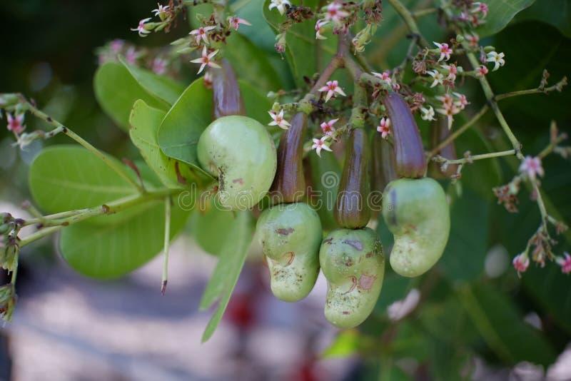 Nerkodrzew owoc wciąż jasnozielona zdjęcie stock