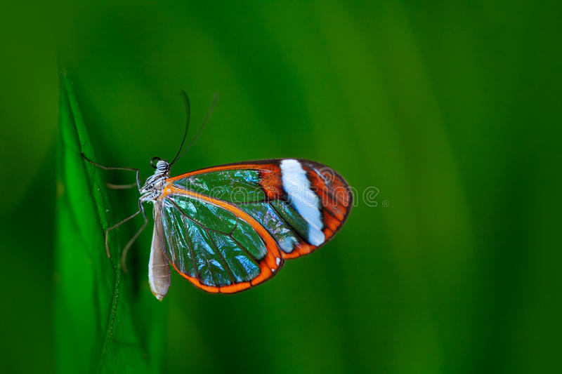 Nero Glasswing, Greta nero, Close-up of transparent glass wing butterfly on green leaves, scene from tropical forest, Costa Rica, royalty free stock images