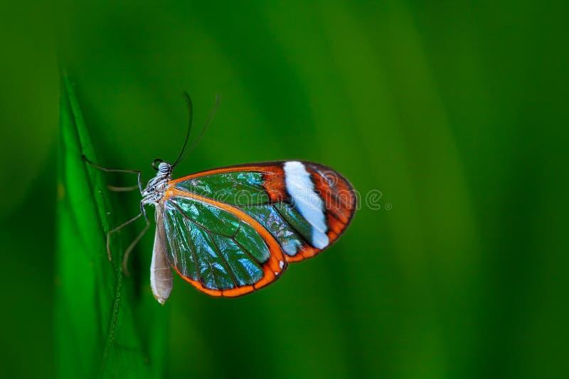 Nero Glasswing, Greta nero, närbild av den genomskinliga glass vingfjärilen på gröna sidor, plats från den tropiska skogen, Costa royaltyfria bilder
