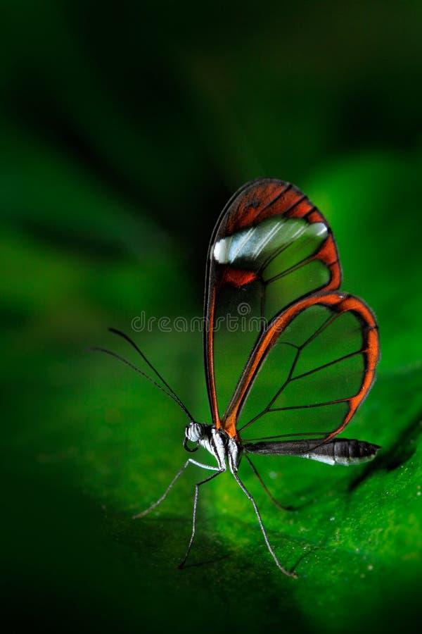 Nero Glasswing, Greta-nero, Nahaufnahme des transparenten Glasflügelschmetterlinges auf grünen Blättern, Szene vom tropischen Wal lizenzfreie stockfotos