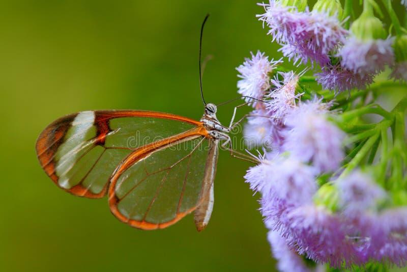 Nero Glasswing, nero de Greta, close-up da borboleta de vidro transparente nas folhas verdes, cena da asa da floresta tropical, B imagens de stock royalty free