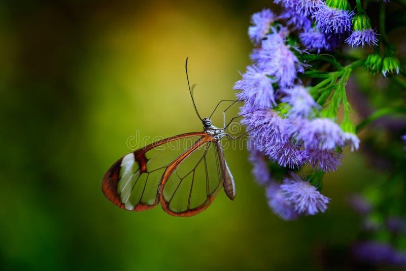 Nero Glasswing, nero de Greta, close-up da borboleta de vidro transparente nas folhas verdes, cena da asa da floresta tropical, C fotografia de stock