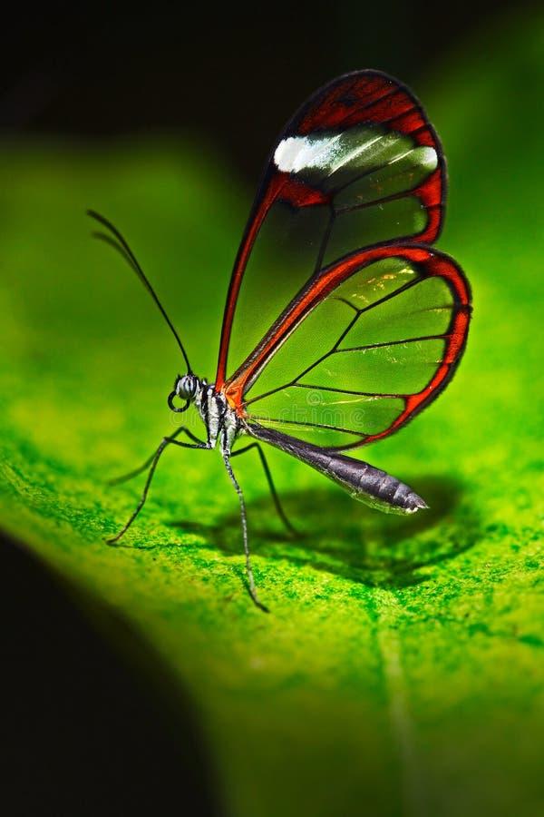 Nero Glasswing, nero de Greta, close-up da borboleta de vidro transparente nas folhas verdes, cena da asa da floresta tropical, C foto de stock