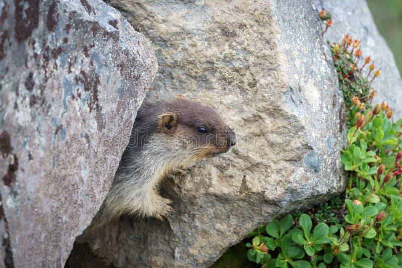 Nero-ricoperto o Kamchatka o marmotta orientale fotografia stock libera da diritti