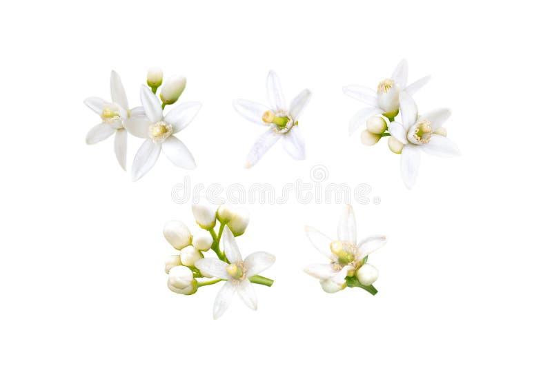 Neroli blommor ställde in isolerat på vit royaltyfria foton