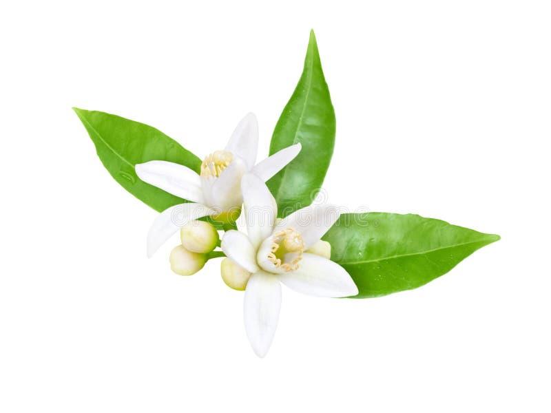 Neroli blomning som isoleras på vit arkivfoto
