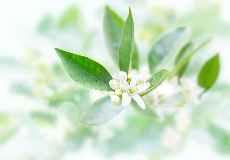 Neroli flowers and buds after spring rain on the blurred garden background. Azahar blossom royalty free stock photos