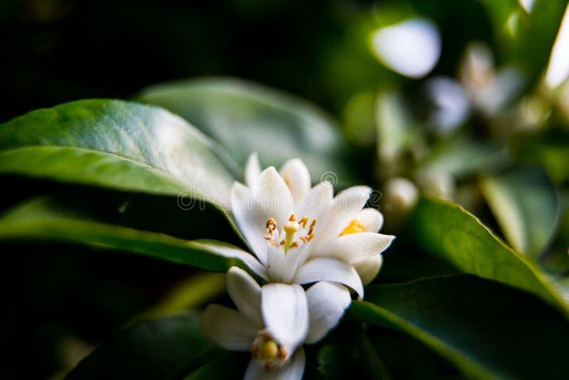 Neroli Gröna ljusa sidor för orange träd och orange blommaneroli med regndroppar, daggbakgrund royaltyfri bild