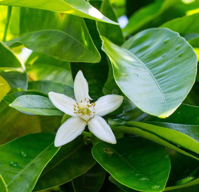 Neroli Gröna ljusa sidor för orange träd och orange blommaneroli med regndroppar, daggbakgrund royaltyfria foton