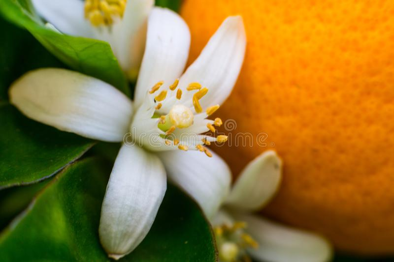Neroli. Green bright orange tree leaves and orange flower neroli with raindrops, dew background royalty free stock image