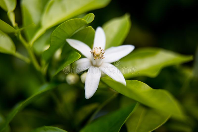 Neroli Hojas brillantes verdes y neroli anaranjado con las gotas de agua, fondo del árbol anaranjado de la flor del rocío fotos de archivo libres de regalías