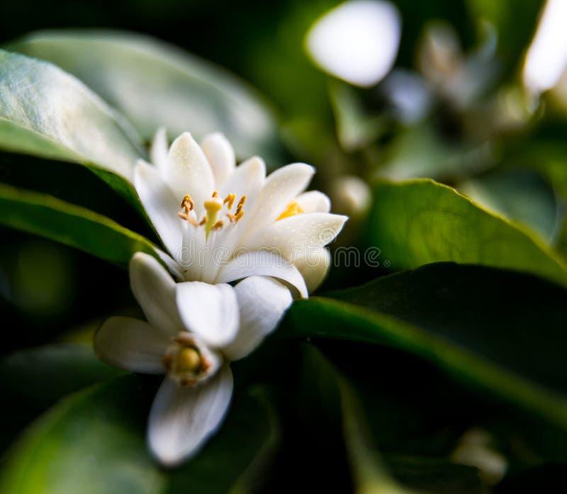 Neroli Hojas brillantes verdes y neroli anaranjado con las gotas de agua, fondo del árbol anaranjado de la flor del rocío foto de archivo libre de regalías