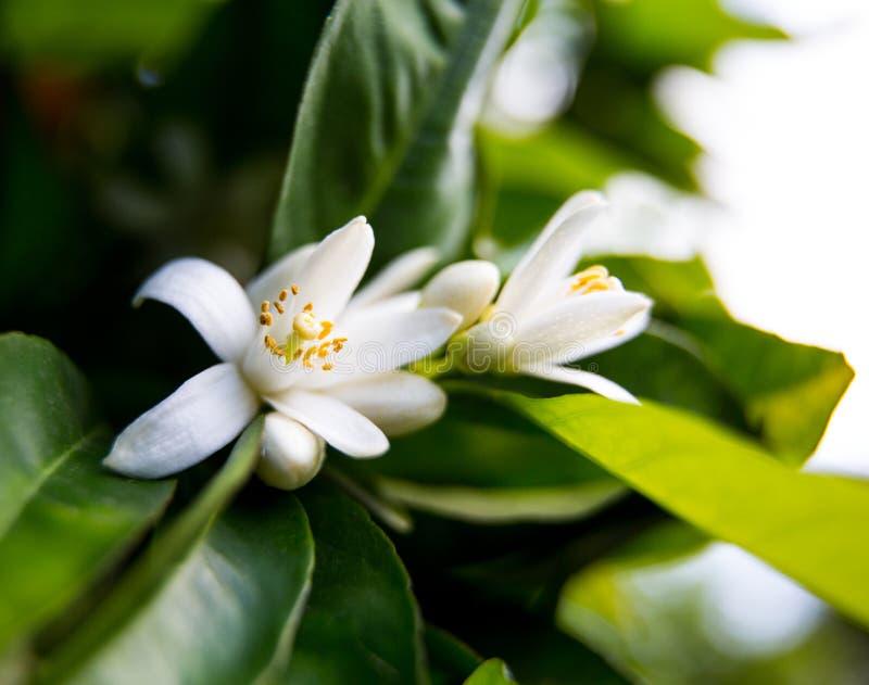 Neroli Hojas brillantes verdes y neroli anaranjado con las gotas de agua, fondo del árbol anaranjado de la flor del rocío imagenes de archivo