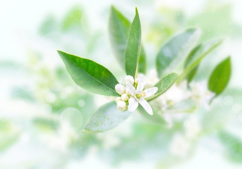 Neroli kwitnie i pączkuje po wiosna deszczu na zamazanym ogrodowym tle Azahar okwitni?cie zdjęcia royalty free