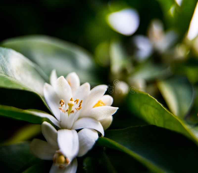 Neroli Zielony jaskrawy pomarańczowy drzewo opuszcza z raindrops i pomarańczowy kwiatu neroli rosy tło, zdjęcia royalty free
