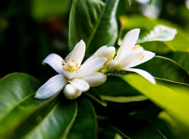Neroli Zielony jaskrawy pomarańczowy drzewo opuszcza z raindrops i pomarańczowy kwiatu neroli rosy tło, obrazy royalty free