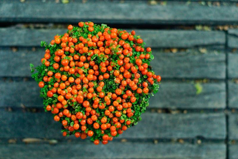 Download Nertera Granadensis- Pot Plant Royalty Free Stock Images - Image: 24527269