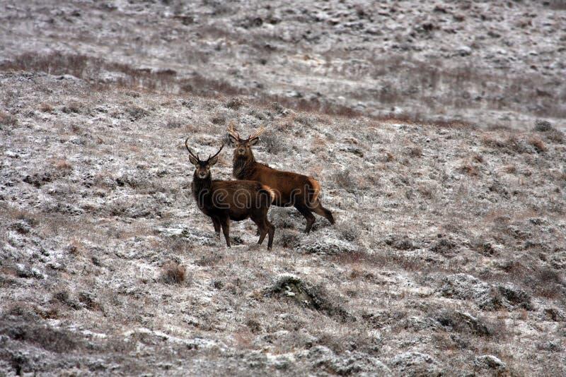 nervösa hjortar royaltyfria bilder