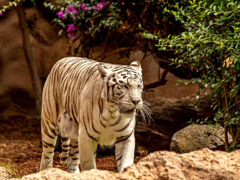 Nervöser weißer Bengal-Tiger, der für Nahrung herumsucht stockfotografie