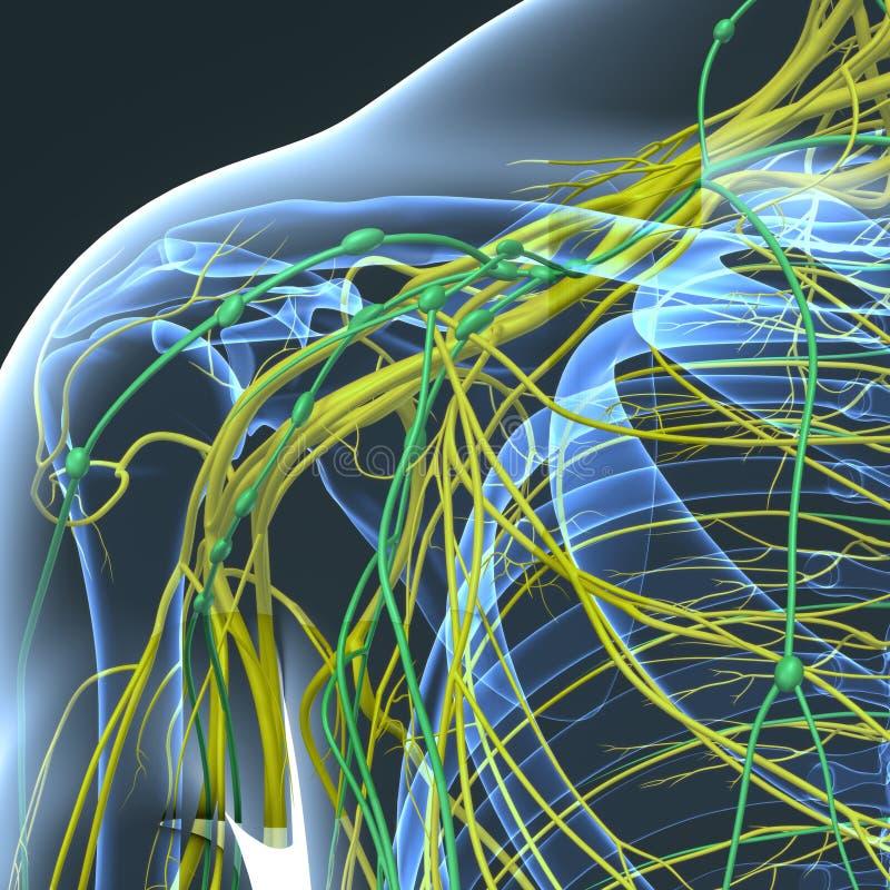 Nerv- och lymfaknutpunkter på skulderbladen stock illustrationer