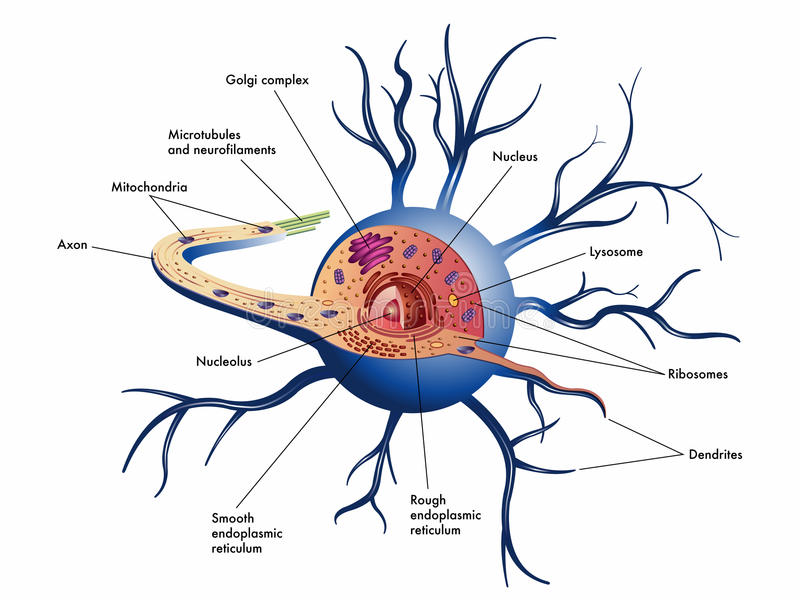 Nerve cell. Medical illustration of structure of nerve cell