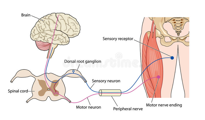 Nerve control of muscle stock illustration